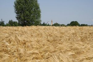 campo-grano-muzzana